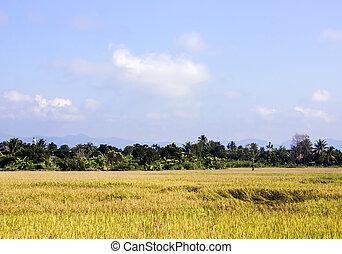 mező, rizs, ég, háttér