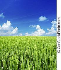 mező, rizs