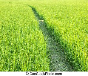 mező, rizs, zöld