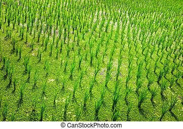 mező, rizs, zöld, részletez, termés