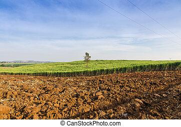 mező, tanya, tropikus, cukornád, mezőgazdaság, táj