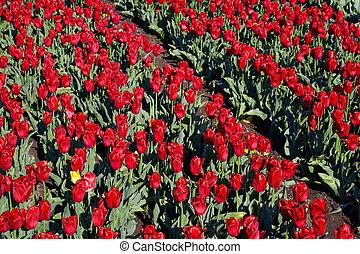 mező, tulipán, napos nap, eredet