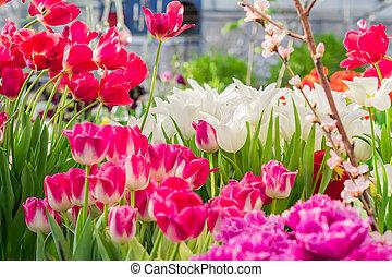 mező, tulipánok, napos nap, többszínű, virágzó