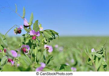 mező, virágzás, borsó