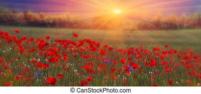 mező, virágzó, mákok, fényes