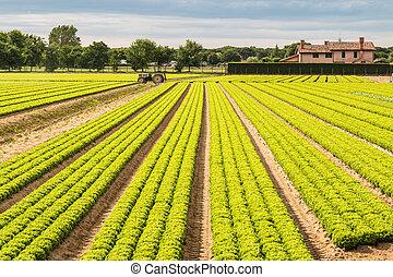 mező, zöld fejes saláta