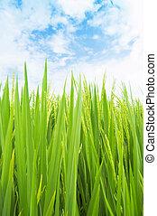 mező, zöld rizs
