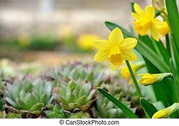 nárcisz, kert