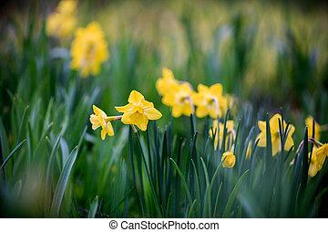 nárcisz, virágzó