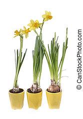 nárciszok, cserépáru, sárga