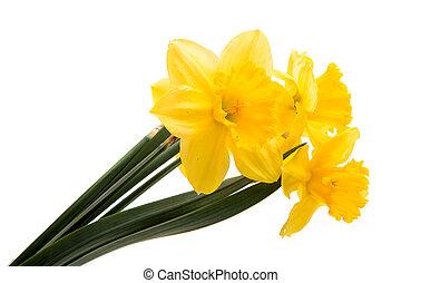 nárciszok, elszigetelt, sárga