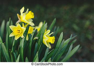 nárciszok, eredet, garden., gyönyörű, sárga