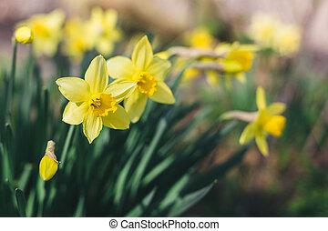 nárciszok, gyönyörű, eredet, garden., sárga