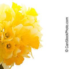 nárciszok, határ, gyönyörű
