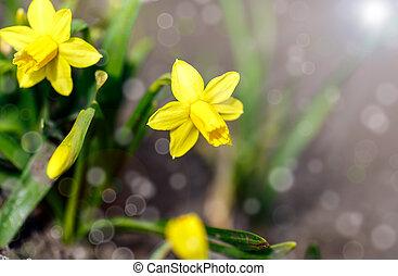nárciszok, kert
