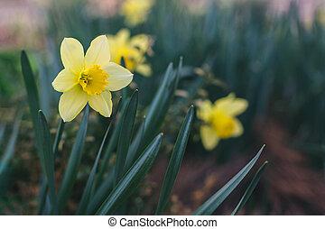 nárciszok, sárga, gyönyörű, garden., eredet