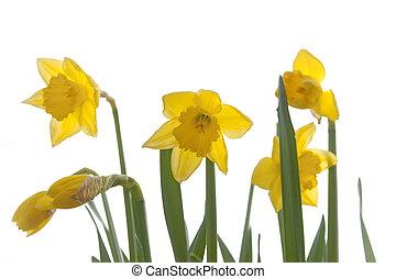 nárciszok, sárga