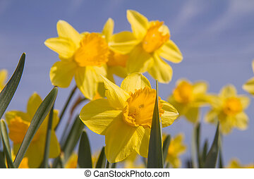 nárciszok, virágzó