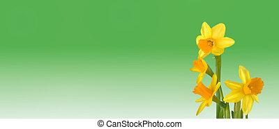nárciszok, zöld, sárga háttér