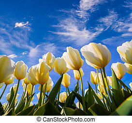 németalföld, kivirul, tulipánok, tavasz, farm., fehér