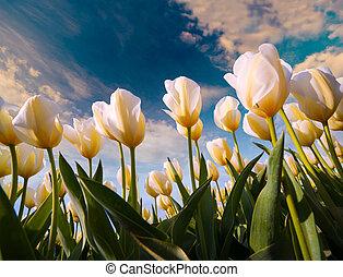 németalföld, kivirul, tulipánok, tavasz, tanya, fehér