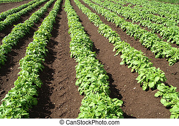 növényi, mező, zöld, crops.