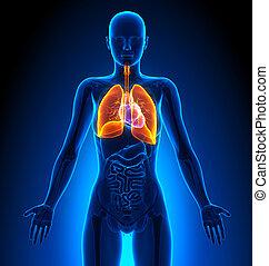 női, tüdő, -, anatómia, emberi, hangerők