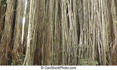 nagy, banyan fa