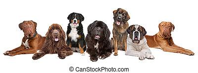 nagy, nagy, csoport, kutyák