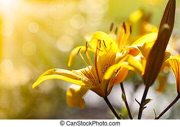 nap liliom, napos, virágzó, sárga