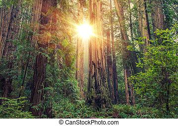 napos, redwood erdő