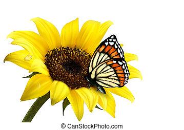napraforgó, nyár, butterfly., vektor, illustration., természet