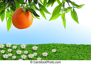 narancs, eredet