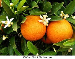 narancsfa, két, narancsfák