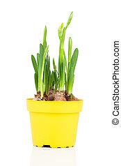 (narcissus), edény, nárciszok, virág
