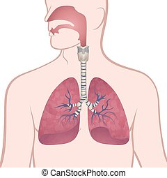 nasopharynx, trachea, tüdő, emberi