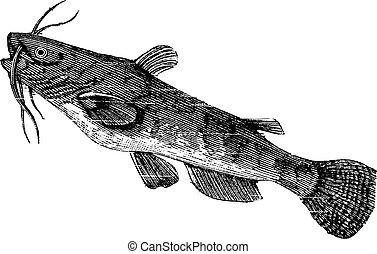 nebulosus, ameiurus, bullhead, barna, szüret, vagy, engraving.