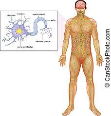 neuron, emberi