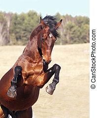 nevelés, ló, mező, öböl