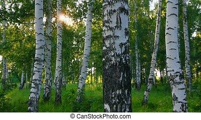 nyár, erdő, oroszország, nyírfa