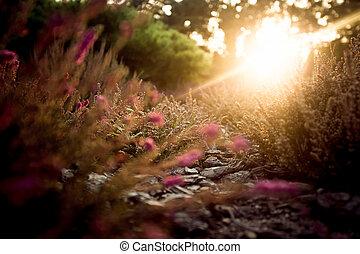 nyár, este, felett, levendula terep, napnyugta