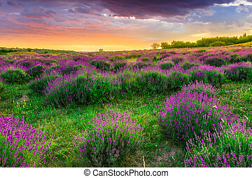 nyár, felett, levendula terep, napnyugta, tihany, magyarország