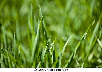 nyár, friss, zöld fű, mező
