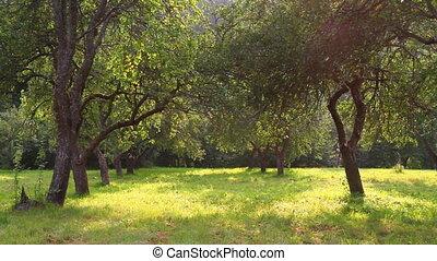 nyár, kert, alma