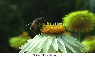 nyár, virág, beporzó, méh, százszorszép