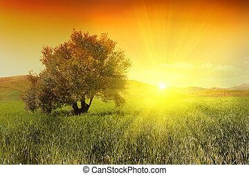 olajbogyó fa, napkelte