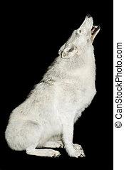 ordító, farkas