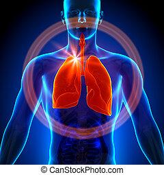 orgánum, tüdő, -, anatómia, emberi, hím