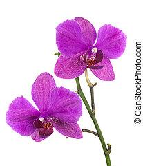 orgona, elszigetelt, háttér., virágzó, fehér, gally, orhidea