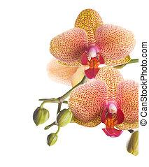 orhidea, határ, gyönyörű